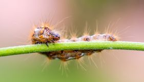 Big colorful caterpillar on green stem of plant with several leafs in background. Horizontal photo with colorful caterpillar. Bug is perched on green stem and royalty free stock images