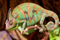 Big and colorful chameleon Stock Photo