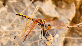 Big colorful dragonfly Royalty Free Stock Images