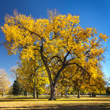 Big Colorful Fall Tree in City Park Royalty Free Stock Image