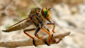 Big colorful fly Stock Image