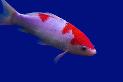 Big colorful Koi carp Royalty Free Stock Photo