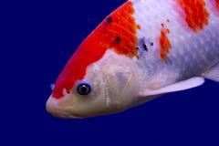 Big colorful Koi carp. In a aquarium stock photo