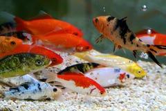 Big colorful Koi carp Stock Photos