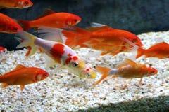 Big colorful Koi carp Stock Photography