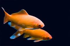 Big colorful Koi carp Stock Photo