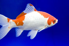 Big colorful Koi carp Royalty Free Stock Images