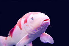 Big colorful Koi carp Stock Images