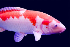 Big colorful Koi carp Stock Image
