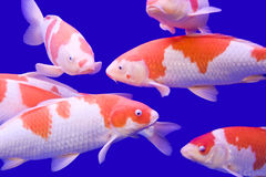 Big colorful Koi carp Stock Photography