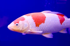 Big colorful Koi carp Royalty Free Stock Image