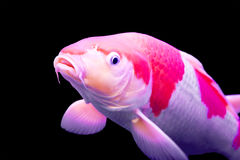 Big colorful Koi carp Royalty Free Stock Photos