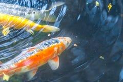 Big colorful Koi carp under water in dark pond Royalty Free Stock Image