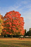 Big Colorful Maple Tree under Blue Sky Stock Photography
