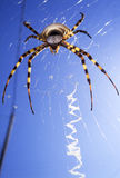 Big colorful spider Royalty Free Stock Images