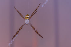 Big colorful spider in a web. Colorful spider in a web Royalty Free Stock Photo