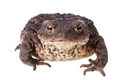 Big Common Toad Stock Photo