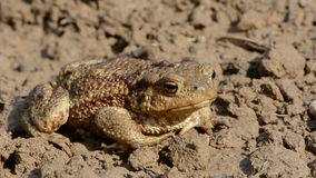 Big common toad (Bufo bufo)  on  ground after rain Stock Photos