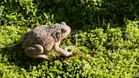 Big common toad (Bufo bufo)  and water splash Stock Images