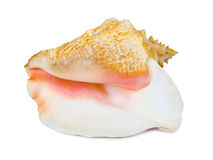 Big Conch Royalty Free Stock Photo