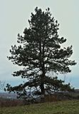 Big conifer tree at top of the hill royalty free stock image