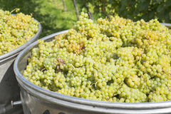Big container full of grapes, Baden Württemberg, Germany Stock Photo
