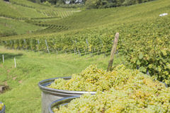 Big container full of grapes, Baden Württemberg, Germany Royalty Free Stock Image