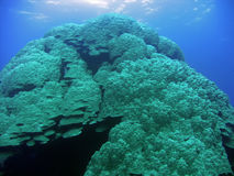 Big coral. Big underwater coral like mountain and sunlight. The Red Sea stock photo