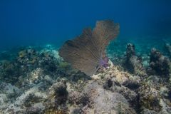 Big coral fan Royalty Free Stock Images