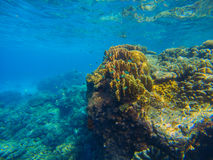 Big coral reef underwater photo. Aqua blue sea view with sea bottom relief. Marine life with animals and plant. Undersea scene of tranquil and beautiful royalty free stock image