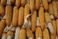 Big corns. From Thai agricultural farm Royalty Free Stock Photo