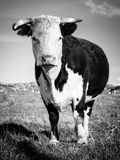 Big Cow in Black and White Stock Photography