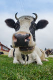 Big Cow Royalty Free Stock Images