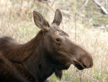 Big Cow Moose Northern Alaska Wild Animal Wildlife Portrait Stock Photo