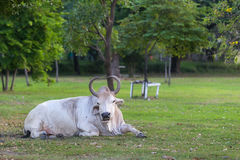 Big Cow in the park. Stock Image