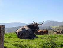 Big cow with The Picos de Europa, part of the Cantabrian Mountains in northern Spain royalty free stock photos