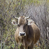 Big cow Royalty Free Stock Photography