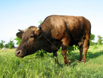 Big cow Stock Photography