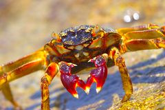The Big Crab. Crab on the coast Stock Photos