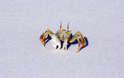 Big crab Royalty Free Stock Photos