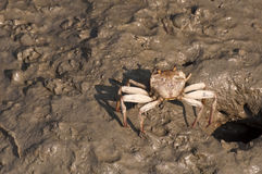 Big crab Stock Photography