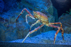 Big crab climbing a stone in tank Royalty Free Stock Photos