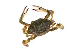 Big crab on white background stock images