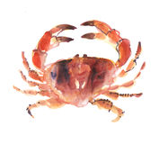 Big crab isolated on white background. Stock Photos