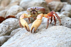 Big crab Royalty Free Stock Photos