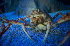 Big crab in a tank looking at camera Stock Photos