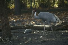 Sarus crane. A big crane near the river Stock Photos