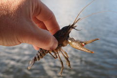 Big crayfish Stock Photography