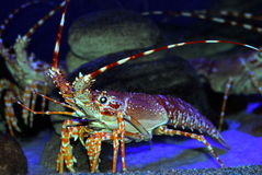 Big crayfish Stock Photos