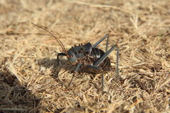 Big Cricket in Namibia Stock Photos